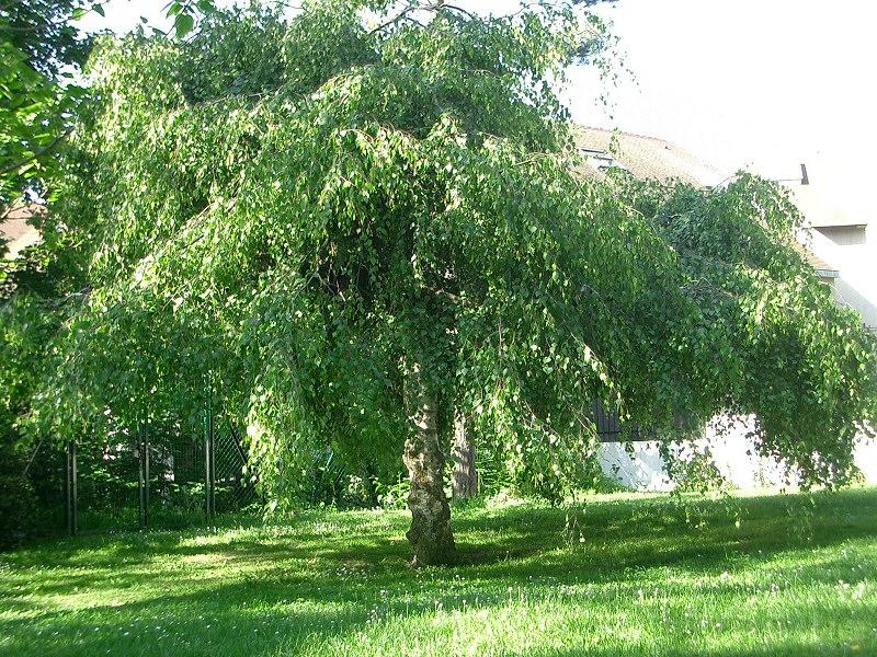 arbre qui pousse vite et fait de l 39 ombre jardinage. Black Bedroom Furniture Sets. Home Design Ideas